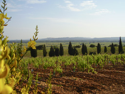 The vineyards of Chateauneuf du Pape